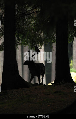 fallow deer deer stags stag cloven-hoofed animal antler Cervid Dama Dama autumnal forest animal animals Germany - Stock Photo