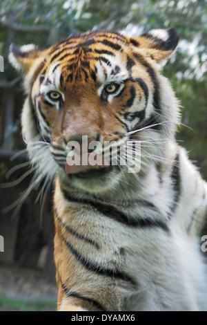 Tiger Behind Glass Enclosure Just Cms Away - Stock Photo