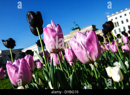 Berlin, Germany. 13th Apr, 2014. Tulips are pictured at the Pariser Platz in Berlin, Germany, 13 April 2014. Photo: - Stock Photo