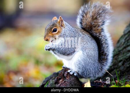 A grey squirrel. - Stock Photo