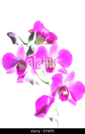 tropical orchid, tropic, exotic, pink, blossoms, cutted out. - Stock Photo