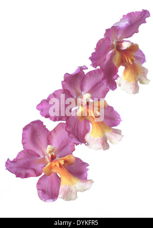 tropical orchid, tropic, exotic, blossoms - Stock Photo