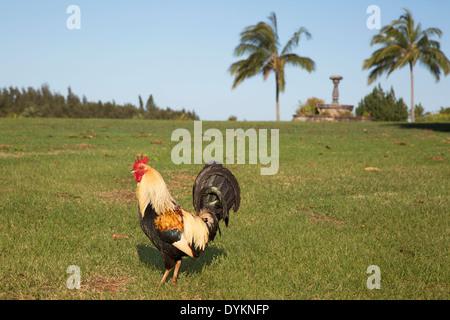 Wild rooster (Gallus gallus domesticus) - Stock Photo