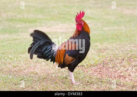 Kauai rooster (Gallus gallus domesticus) - Stock Photo