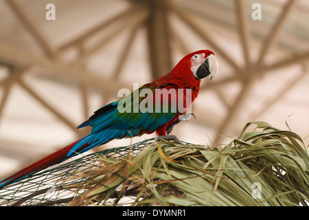 colorful bright red-blue-green parrot the macaw sits on green branch of a palm tree - Stock Photo