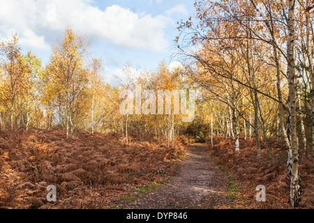 Woodland path through silver birch trees in bright autumn colours with brown bracken at Frensham Pond, Surrey, UK - Stock Photo