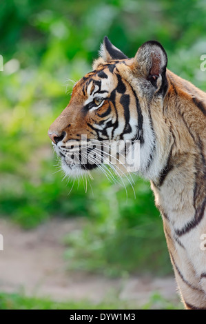 Malayan Tiger (Panthera tigris jacksoni) - Stock Photo