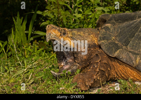 Alligator snapping turtle (Macrochelys temminckii) is the largest freshwater turtle in the world based on weight, - Stock Photo