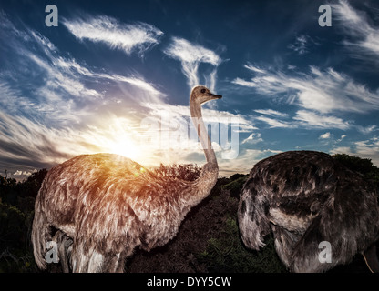 Ostriches in wild nature, wildlife of South Africa, beautiful big birds in sunset lights, national park, travel - Stock Photo