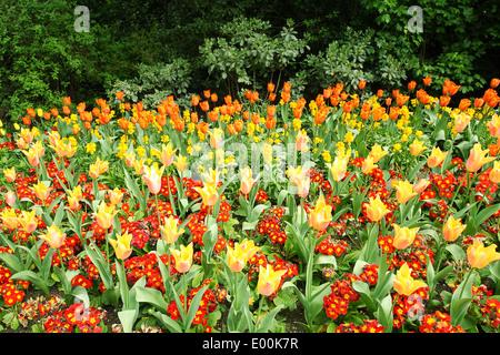 Spring tulips in St James park, London - Stock Photo