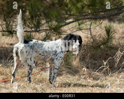 Hunting Dog on Point - Stock Photo