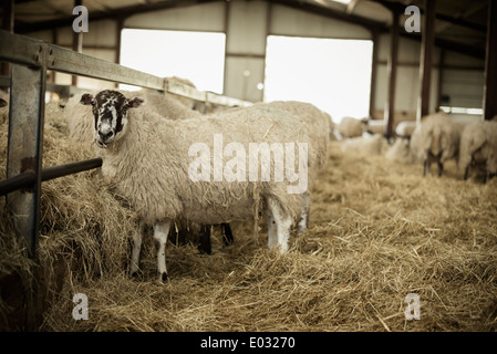 Sheep in a barn during lambing time. - Stock Photo
