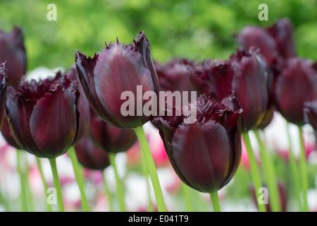 Tulipa. Fringed Tulip 'vincent van gogh' flowers - Stock Photo