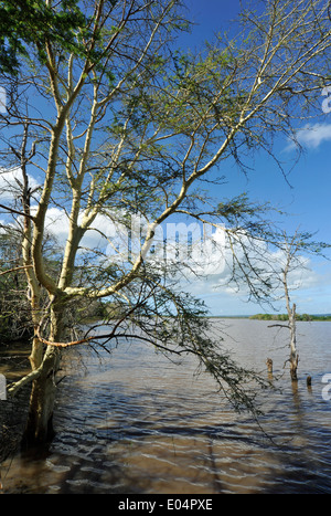 Mkhuze nature reserve, KwaZulu-Natal, South Africa, Fever tree, Acacia xanthophloea, standing in water of Nsumo - Stock Photo