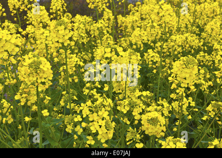 Closeup of Rapeseed Brassica juncea in a field. - Stock Photo