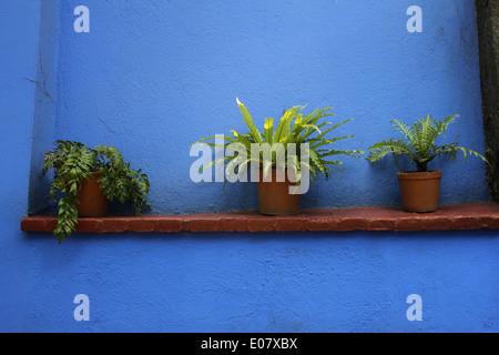 Three plants on a ledge against a blue wall, Casa Azul (Blue House) where Frida Kahlo lived, Coyoacan, Mexico City - Stock Photo