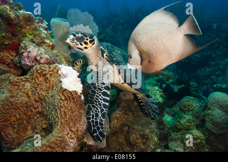 Atlantic Hawksbill Turtle (Eretmochelys imbricata imbricata) feeding on a Leathery Barrel Sponge (Geodia neptuni) - Stock Photo