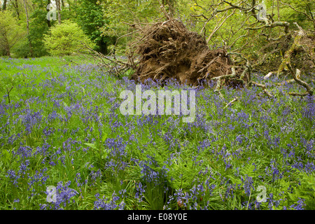 A fallen tree with a carpet of Bluebells in the woods at Lanhydrock House near Bodmin in Mid Cornwall on a spring - Stock Photo