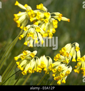 Close-up of cowslip flowers  in natural green environment - Stock Photo