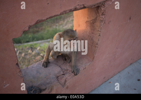 Rhesus Macaque monkey at Galtaji (Monkey Temple) just outside Jaipur, Rajasthan India. - Stock Photo