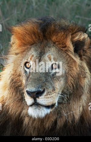 Male Lion, Serengeti, Tanzania (Panthera leo) - Stock Photo
