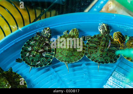 three small pet turtles in a bowl full of water triyng to escape - Stock Photo