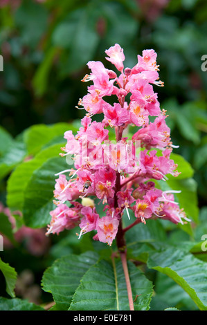 lowering, horse, chestnut, tree, rote Rosskastanie,,Blume,Flower - Stock Photo