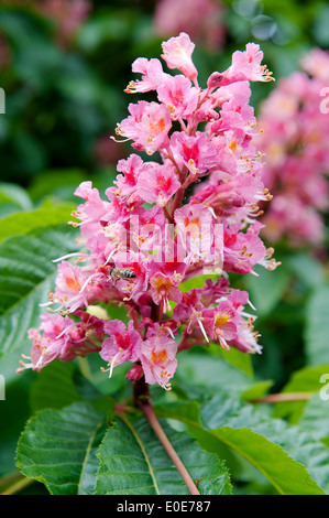 lowering, horse, chestnut, tree, rote Rosskastanie,Blume,Flower - Stock Photo
