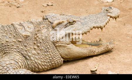Crocodile resting in the sun (zoo Saigon, Vietnam) - Stock Photo