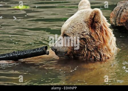 Syrian Brown Bear (Ursus arctos syriacus) - Stock Photo