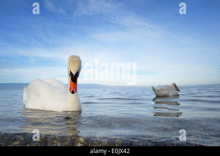 Mute Swan (Cygnus olor) couple on the water from Lake Geneva, close up. - Stock Photo