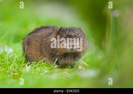 Water vole showing teeth, Cromford Canal, Derbyshire. (Arvicola amphibius) - Stock Photo