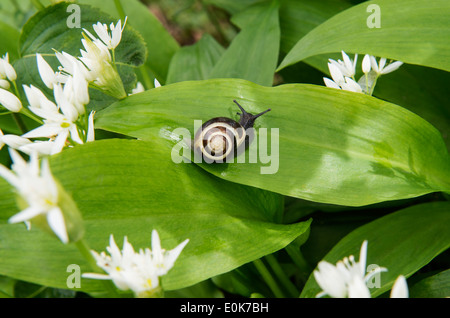 Ramsons or Wild Garlic (Allium ursinum) flowers and leaves with snail Castle Howard North Yorkshire England UK Europe - Stock Photo