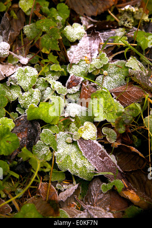 A patch of frost on green and brown leaves on the forest ground. - Stock Photo
