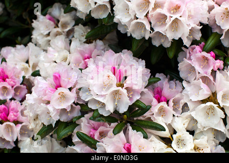 White and pink blush rhododendron flowers close-up. - Stock Photo