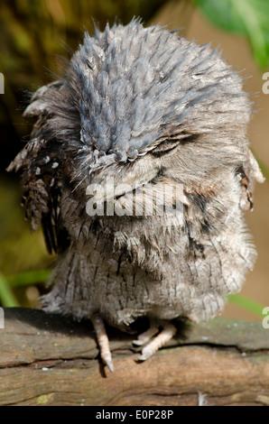 Australia, Queensland, Port Douglas. Wildlife Habitat Zoo. Tawny frogmouth (CAPTIVE: Podargus strigoides) - Stock Photo