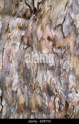 The bark of the 5000 year old yew tree (taxus baccata) in the churchyard at Discoed, Powys, UK - Stock Photo