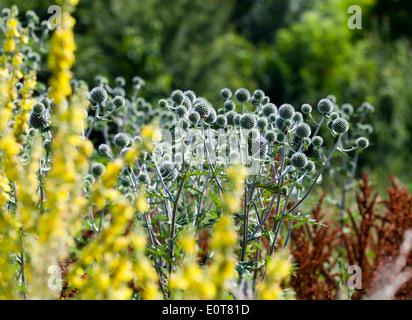 Blaudistel (Eryngium alpinum) - Alpine Sea Holly - Stock Photo