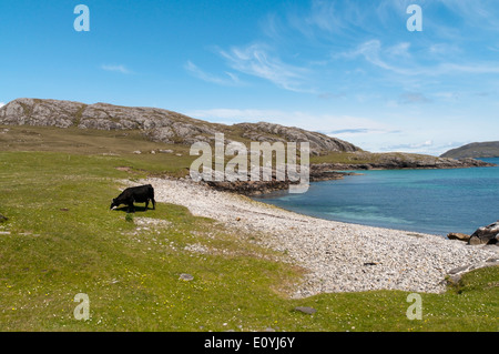 Cow grazing on machair behind a small beach on the island of Vatersay in the Outer Hebrides. - Stock Photo