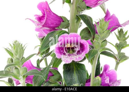 Foxglove (Digitalis purpurea) - Stock Photo