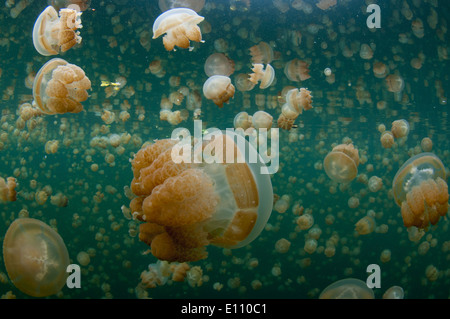 Golden Jellyfish near the surface in Jellyfish lake Palau (Mastigias) - Stock Photo