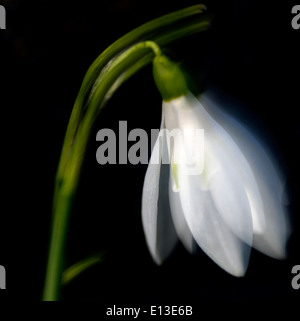 Snowdrop moving in the wind, UK - Stock Photo