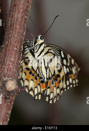 Common Lime Butterfly (Papilio demoleus) a.k.a. Lemon Butterfly, Chequered Swallowtail, Lime Swallowtail, Small - Stock Photo