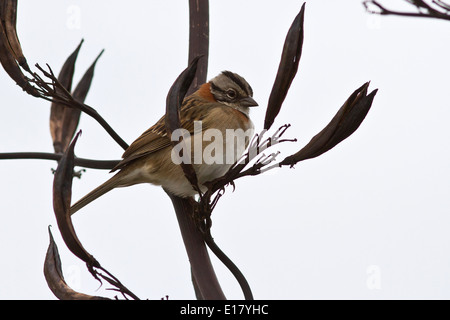 male Rufous-collared Sparrow sitting on a branch of a bush - Stock Photo