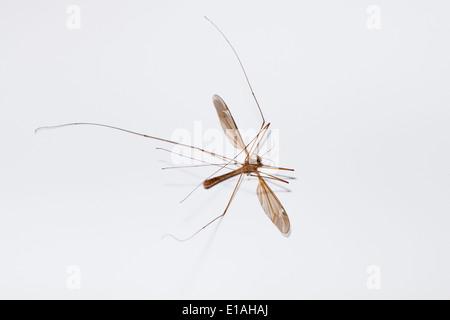 Dead crane fly (Diptera tipulidae) - Stock Photo