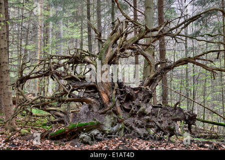 Roots of a fallen Common Spruce (Picea abies), Bavarian Forest National Park, Bavaria, Germany - Stock Photo