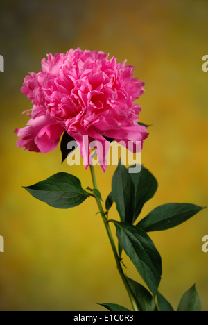 Pink Peony single flower in close-up - Stock Photo