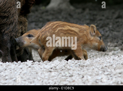 Close-up of  two playful wild boar piglets (Sus Scrofa) - Stock Photo