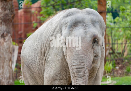 Zurich, Switzerland. 4th June 2014. An elephant of Zurich zoo is strolling his new home and the zoo's new attraction: - Stock Photo