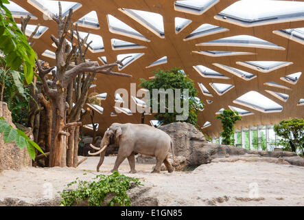 Zurich, Switzerland. 4th June 2014. Elephant bull 'Maxi' of Zurich zoo is strolling his new home and the zoo's new - Stock Photo